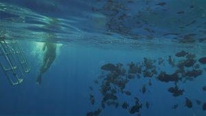 Snorkleing on the Big Island at Kealakekua Bay is a must for adventure seekers